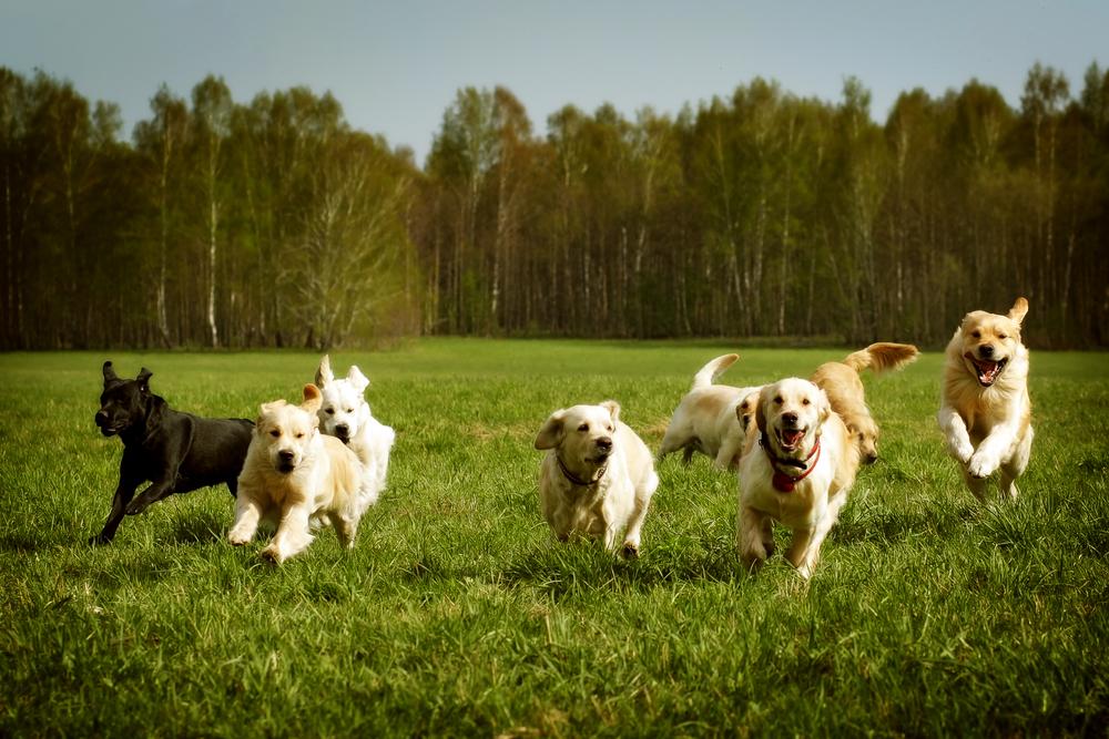 Dogs Playing on Grass